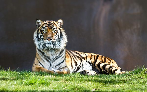 wallpaper of animals: a tiger staring on the grassland ,click to download
