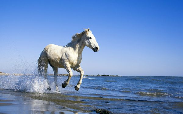 wallpaper of animals: a white horse running in the seawater ,click to download