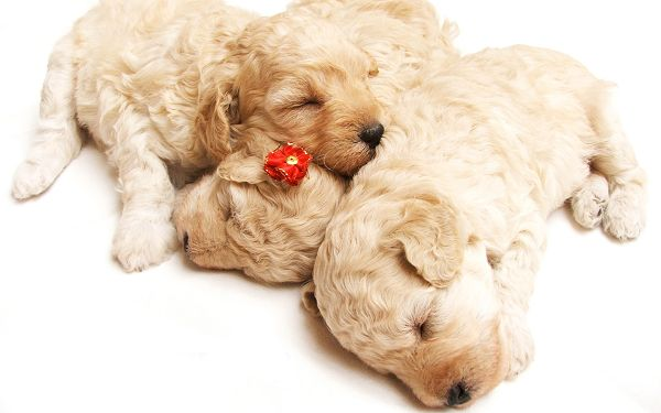Wallpaper Of Animals: Three Doggies Sleeping Together