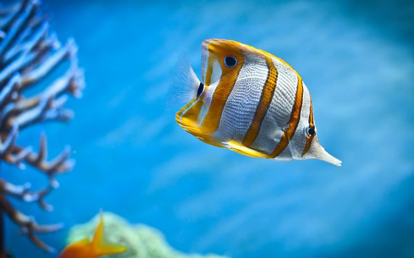 wallpaper of colorful butterfly fish swimming in the sea ,click to download