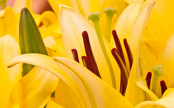 wallpaper of flower: bright yellow Oriental Lilies  ,click to download
