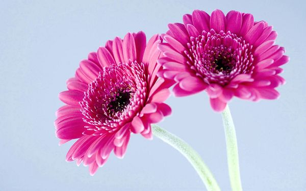 Wallpaper Of Flowers-Purple Gerbera Daisies