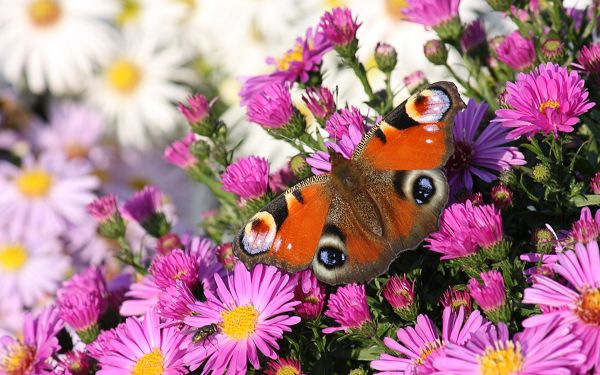 wallpaper of peacock butterfly on the purple flowers ,click to download