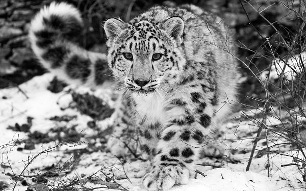 wanderful wallpaper of animals: a Snow leopard in snow ,click to download