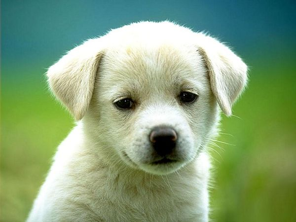 White Doggy Free Wallpaper