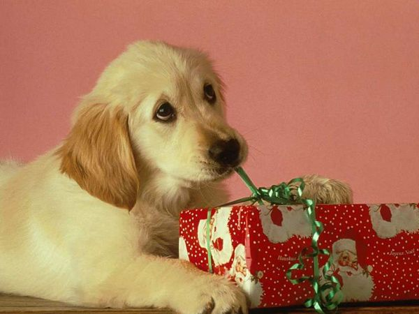 wonderful wallpaper: a dog and a Christmas gift ,click to download