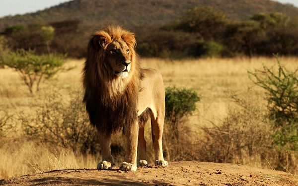 wonderful wallpaper of lion: a lion on the grassland of Africa ,click to download
