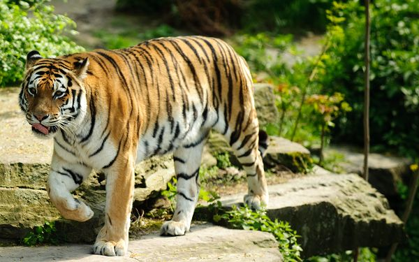 wonderful wallpaper of tiger: a best tiger is walking on the cliff edge ,click to download