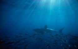 Great White Shark Australia in Pixel of 1920x1200, Small Fishes by the Shark's Side, Seeking for Protection - HD Post TV & Movies Post