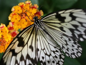 Beautiful Images of Nature Landscape, a Big Butterfly on Yellow Little Flowers, Greatly Protective
