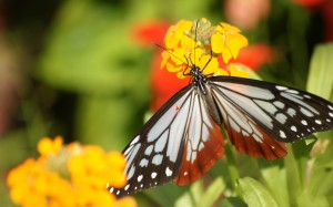 Newflower Shows Picture, a Butterfly on Yellow and Red Flowers, Great Lovers--1920X1200 free wallpaper download