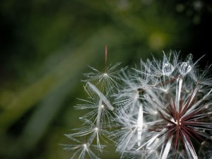 Wallpapers for Computer Free, White Dandelion Under Macro Focus, Rain Drops All Over