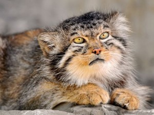 Funny Cat Photos, Manul in Deep Thought, What am I Going to Have for Dinner?