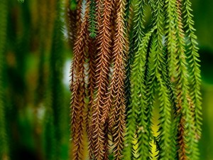 Amazing Pic of Nature Landscape, Pine Aces in Two Colors, Falling Straight Down