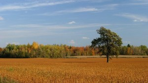 Free Download Natural Scenery Picture - A Tall Tree, Yellow and Ripe Plants Under the Blue Sky