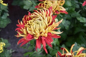 Chrysanthemum in full bloom autumn (2)