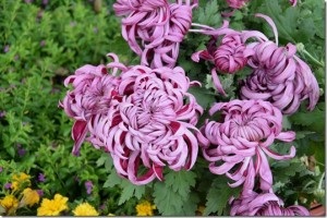 Chrysanthemum in full bloom autumn (3)