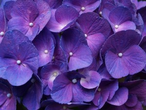 Nature Landscape of Flowers, a Pile of Purple Hydrangea in Bloom, Great and Impressive Scene