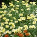 Garden Flowers Picture, Yellow Tiny Flowers and Green Leaves, Nice Scenery