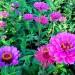 Pink Seenia Flower, Big Pink Flowers in Bloom, Green Grass All Around
