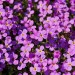 Purple Flowers Field, Blooming Tiny Flowers, Incredible Scenery
